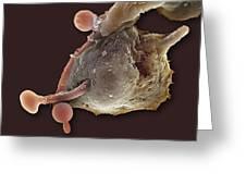 Neutrophil Engulfing Thrush Fungus, Sem Greeting Card by