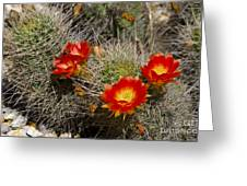 Red Cactus Flowers Greeting Card