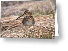 Wilsons Snipe Greeting Card