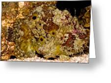 Frogfish Greeting Card