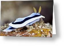 Nudibranch Feeding On Algae, Papua New Greeting Card