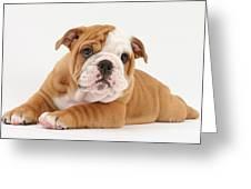 Bulldog Pup Greeting Card