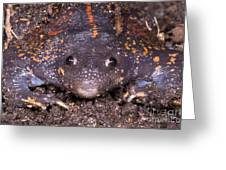 Mexican Burrowing Toad Greeting Card