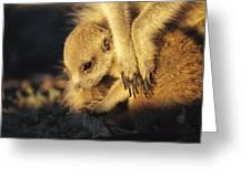 A Baby Meerkat Snuggles Greeting Card