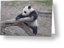 A Baby Panda Plays On A Branch Greeting Card