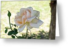 A Beautiful White And Light Pink Rose Along With A Bud Greeting Card