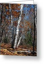 A Birch Radiating Its White Beauty In The Forest Greeting Card