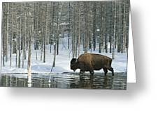 A Bison Stands In A Cold  Stream Greeting Card