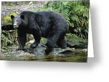 A Black Bear, Ursus Americanus, Walks Greeting Card