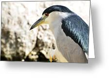 A Black-crowned Night Heron  Greeting Card