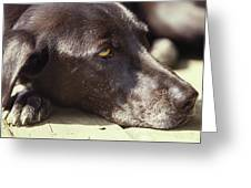 A Black Lab Lounges In The Afternoon Greeting Card