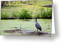 A Blue Bird In A Wetland -yellow-crowned Night Heron  Greeting Card
