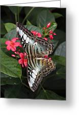 A Blue Clipper Butterfly Feeds Greeting Card
