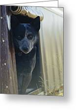 A Blue Heeler Cattle Dog Peers Greeting Card