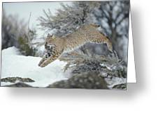 A Bobcat Leaps With A Horned Lark Greeting Card by Michael S. Quinton