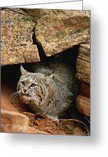 A Bobcat Pokes Out From Its Alcove Greeting Card