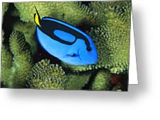 A Bright Blue Palette Surgeonfish Greeting Card