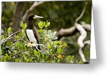 A Brown Booby Sula Leucogaster Greeting Card by Tim Laman