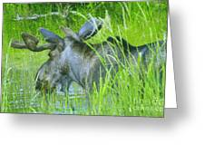 A Bull Moose Wading His Pond Greeting Card