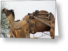 A Camel Foraging For Food In A Desert Environment Greeting Card