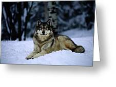 A Captive Grey Wolf, Canis Lupus Greeting Card by Joel Sartore