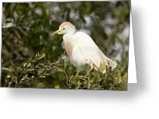 A Cattle Egret Bubulcus Ibis Greeting Card