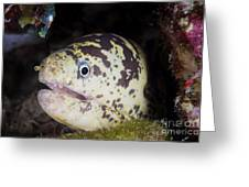 A Chain Moray Eel Peers Out Of Its Hole Greeting Card