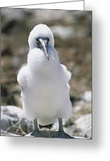 A Chick Blue Footed Booby Sits Greeting Card by Gina Martin