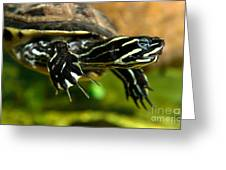 A Chicken Turtle In Aquarium Tank On Cape Cod Greeting Card