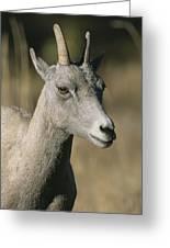 A Close View Of A Bighorn Sheep Ewe Greeting Card
