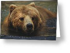 A Close View Of A Captive Kodiak Bear Greeting Card