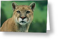 A Close View Of A Captive Male Mountain Greeting Card