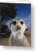 A Close View Of An Adult Meerkat Greeting Card