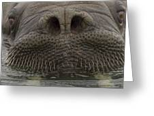 A Close View Of An Atlantic Walrus Greeting Card by Ralph Lee Hopkins