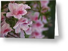 A Close View Of Pink Azalea Blossoms Greeting Card