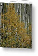 A Close View Of Quaking Aspen Trees Greeting Card