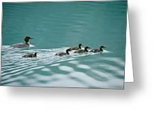 A Family Of Merganser Ducks Swim Greeting Card