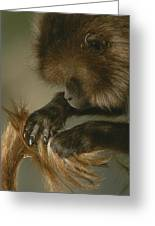 A Female Gelada, Theropithecus Gelada Greeting Card