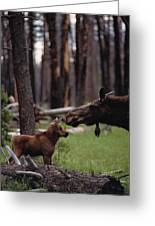 A Female Moose Nuzzles Her  Young Greeting Card