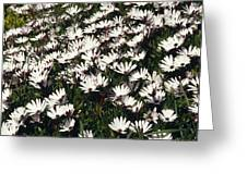 A Field Of Prolofic White Daisy Flowers Greeting Card