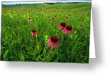 A Field Of Purple Coneflowers Greeting Card