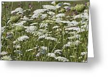 A Field Of Queen Annes Lace Greeting Card