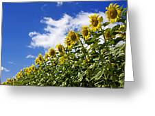 A Field Of Sunflowers . Auvergne. France Greeting Card
