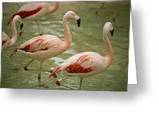 A Flock Of Chilean Flamingos Wading Greeting Card