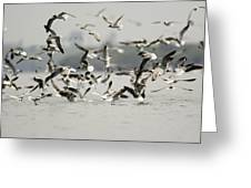 A Flock Of Laughing Gulls Larus Greeting Card