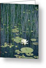 A Flowering Water Lily In Black Greeting Card