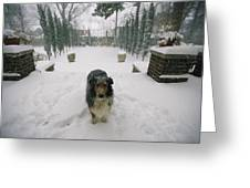 A Forlorn And Snow-dusted Sheltie Greeting Card