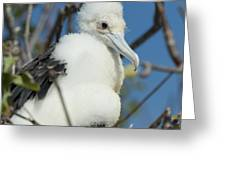 A Frigatebird Sitting In A Nest Greeting Card