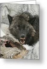 A Gray Wolf, Canis Lupus, Growls Greeting Card