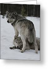 A Gray Wolf, Canis Lupus, Stands Greeting Card